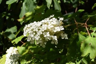 Hydrange quercifolia gold-leaved