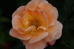 Rose Flower Carpet Amber