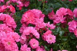 Rose Flower Carpet Pink