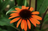 Echinacea Sunseekers Orange