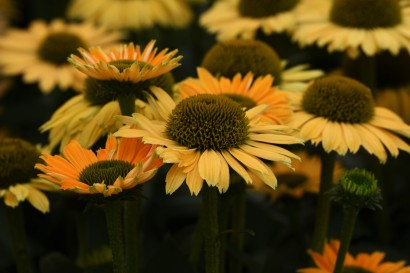 Echinacea Sunseekers in Tans Mellow