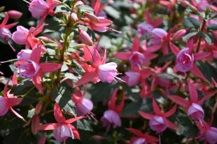 Fuchsia Rose Fantasia