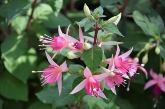 Fuchsia Walz Jubelteen