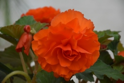 Begonias on show too -