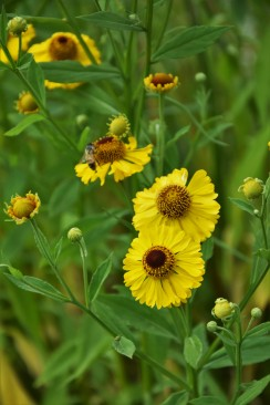 Helenium Riverton Beauty