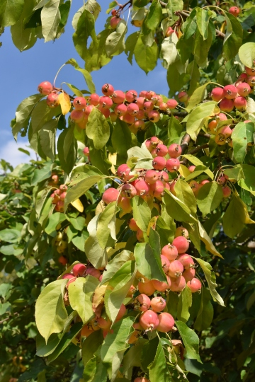 The Crab Apple collection