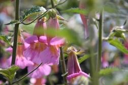 Rehmannia angulata