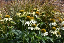 Echinacea Moodz Shiny