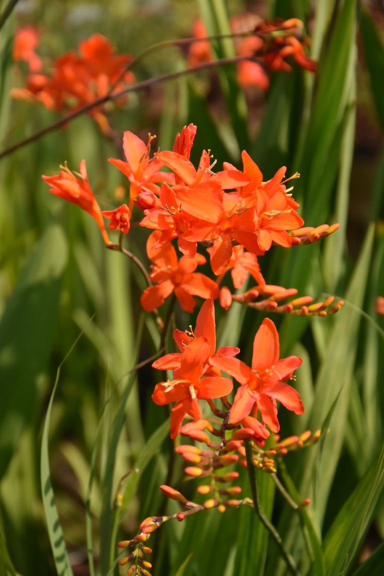 Crocosmia Orange Dream