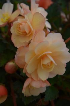Fragrant Falls Begonias