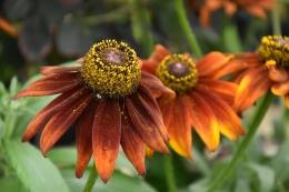 Rudbeckia Summerina Brown