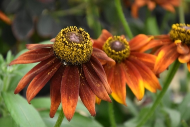 Rudbeckia Summerina Brown