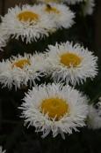 Leucanthemum Real Galaxy