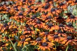 Rudbeckia Summerina Orange