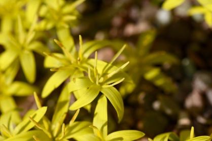 Empodium plicatum