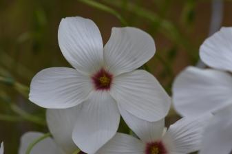 Oxalis smithiana