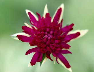 Knautia Thunder and Lightening