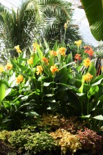 Cannas massed