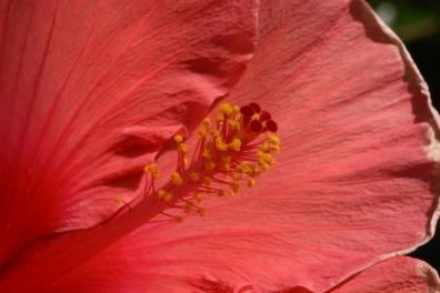 Hibiscus rosa sinsneis