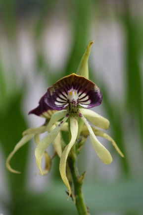 Prosthechea cochleata AGM