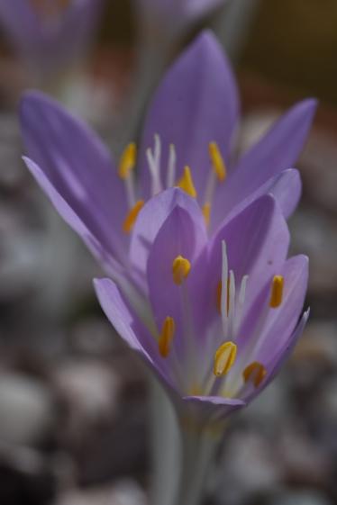 Colchicum peloponnesiacum