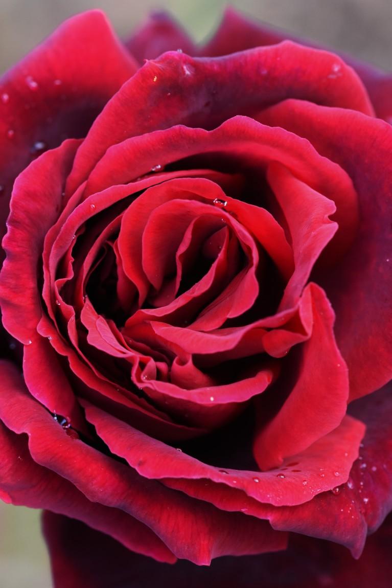 Rosa Velvet Fragrance 'Fryperdee'