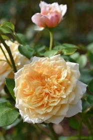 Rosa English Garden 'Ausbuff'