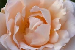 Rosa Champagne Celebration 'Frylimbo'