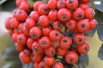 Sorbus hybrida Gibbsii