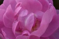 Rosa Skylark 'Ausimple'