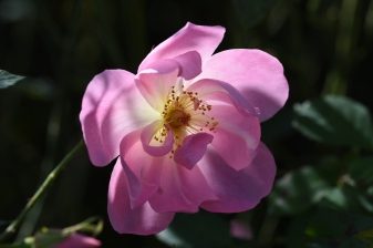 Rosa The Lady's Blush 'Ausoscar'