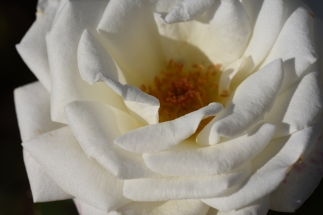 Rosa Royal Philharmonic 'Hardeed'