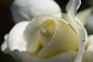 Rosa Silver Anniversary