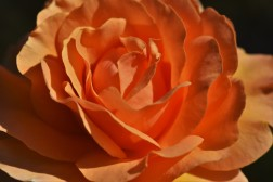 Rosa Welwyn Garden Glory 'Harzumber'