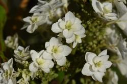 Hydrangea quercifolia Snowflake