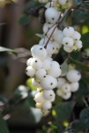 Symphoricarpos Magical Fountain