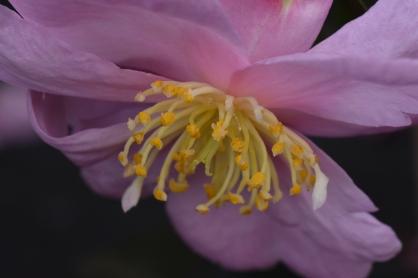 Camellia Pink somethingorother