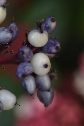 Cornus alba Sibirica Variegata