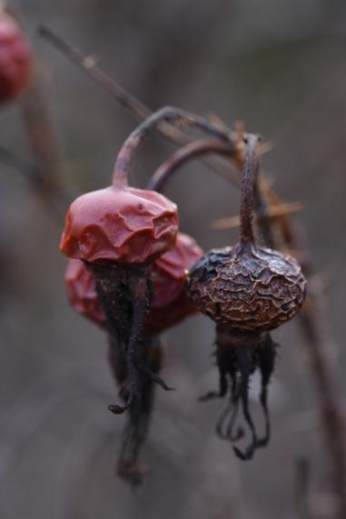 Rosa rugosa Thunbergii?