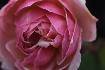 Rosa Madame Abel Chantenay