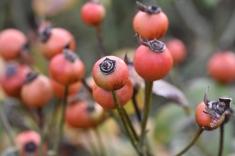 Rosa gallica var officinalis