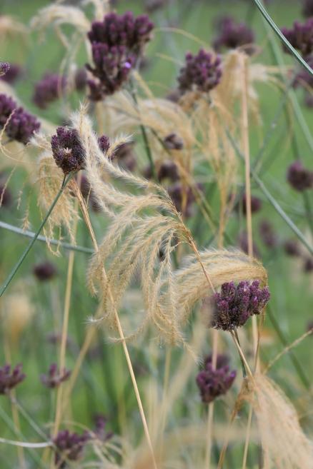 Miscanthus and Verbena bonariensis