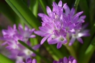 Lachenalia paucifolia