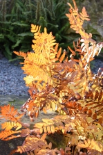 Regal fern - Osmunda regalis