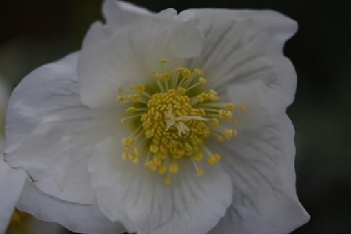 Ice N Roses White