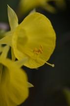 Narcissus bulbocodium subsp. praecox Moulay Brahim