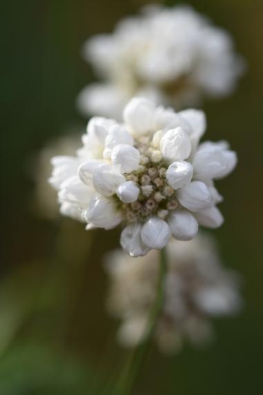 Armeria pseudoarmeria Ballerina White