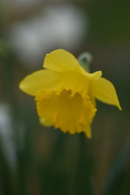 Narcissus Miss Muffit