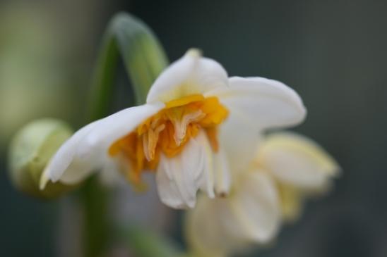 Narcissus tazetta Aleppo