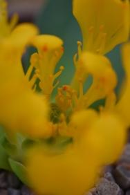 Daubenya aurea yellow-flowered